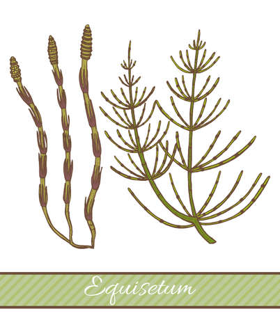 Colored Equisetum in Hand Drawn Style