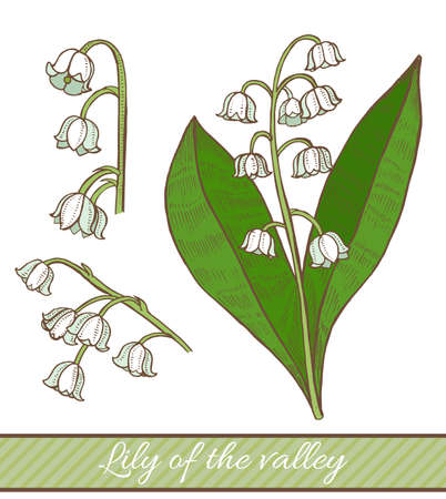 Colored Lily of the Valley in Hand Drawn Style. Vector Illustration of Medicinal Plant