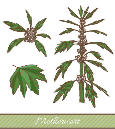Colored Motherwort in Hand Drawn Style. Vector Illustration of Medicinal Plant