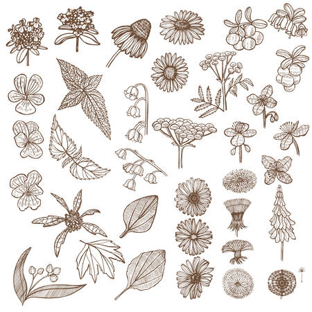 Set of Medicinal Plant Elements. Floral Collection in Hand Drawn Style. Vector Illustration Ilustracja