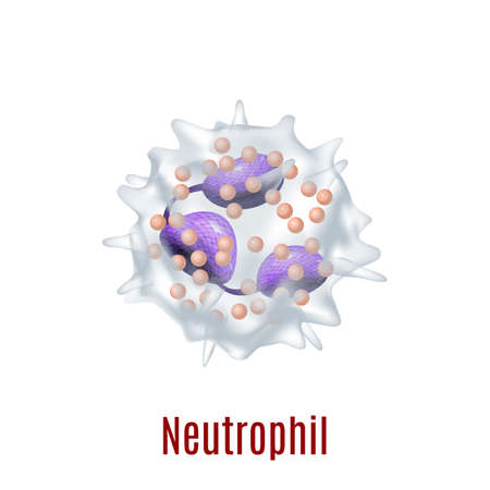 Isolated Neutrophil Cell in Realistic Style Illustration
