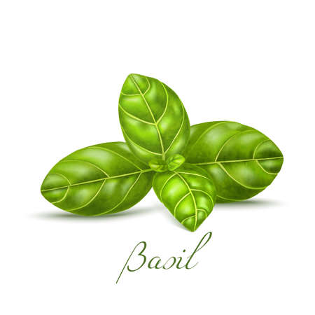 Basil Leaves. Basil Realistic Elements for Labels of Cosmetic Skin Care Food Product Design. Vector Isolated Illustration Vettoriali