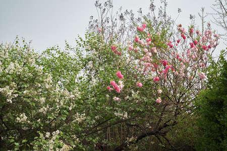 tearful: Peach blossom