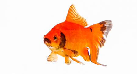 back and forth: Goldfish