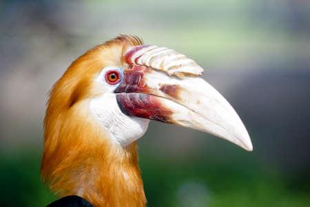 hornbill: narcondam hornbill