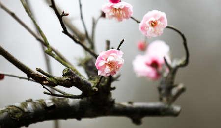 Close up view of peach blossom Stock Photo