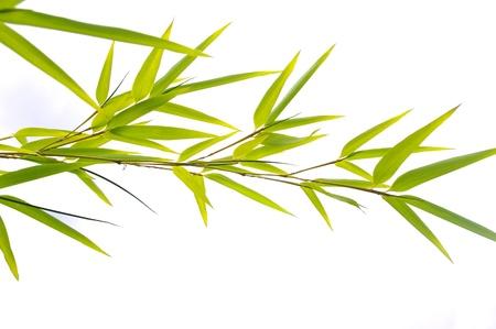 bamboo plant: Bamboo