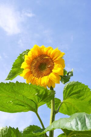 Sunflower close-up Stock Photo - 11245037