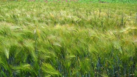 Wheat Stock Photo - 11370733