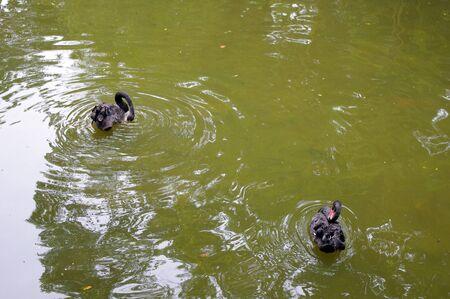 The black swan photo