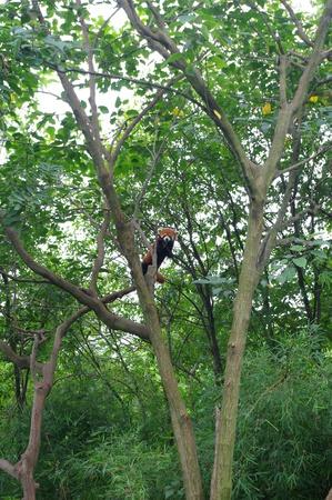 Lesser panda photo