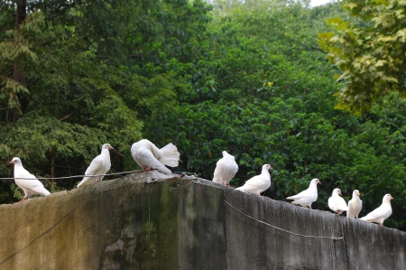 Pigeon Stock Photo - 11403031