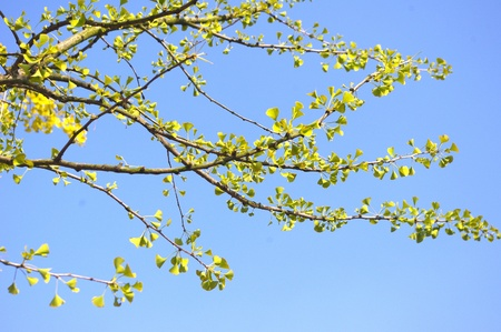 Ginkgo biloba leaves photo