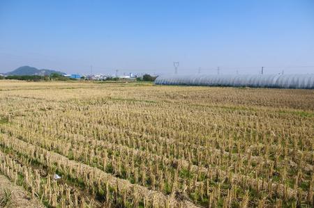 winter wheat: Winter wheat