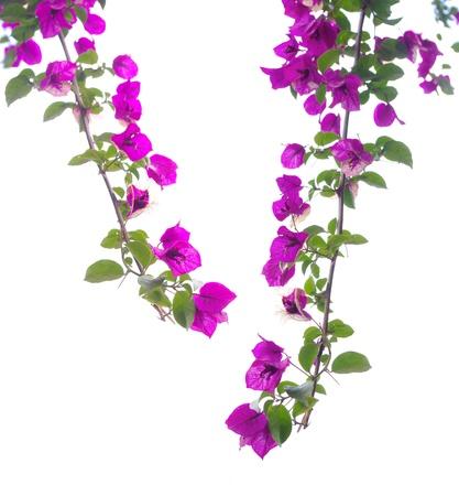 在白色背景上的特寫三角梅的花朵 版權商用圖片