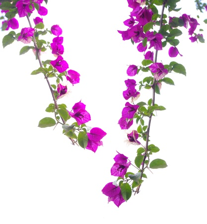 bougainvillea flowers: Flowers on a white background close-up Bougainvillea Spectabilis
