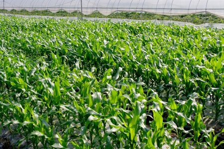 Cultivation of maize seedlings Stock Photo - 14012959