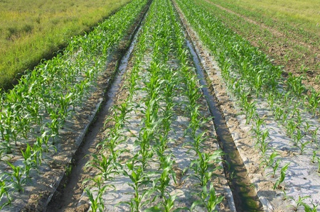Cultivation of maize seedlings Stock Photo - 14012963