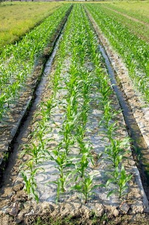 Cultivation of maize seedlings photo