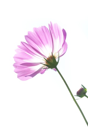 Gerbera white background photo