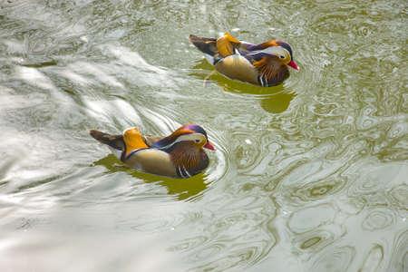 mandarina: Mandarin duck floating and calm on the water