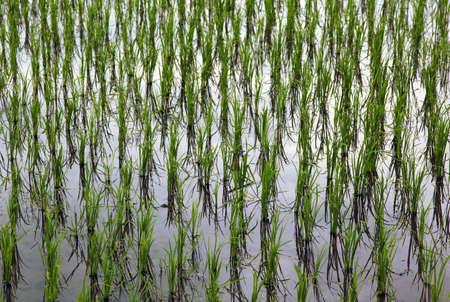 rijst: Rice field
