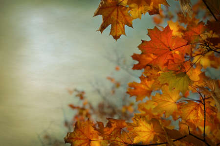 Autumn background with maple leaves - Holiday Background ,Thanksgiving