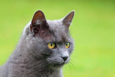 russian blue: Portrait of a cat - Russian Blue
