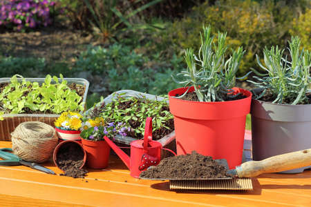 transplants: Gardening - transplanting young plants Stock Photo