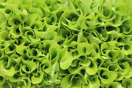 Young green lettuce background
