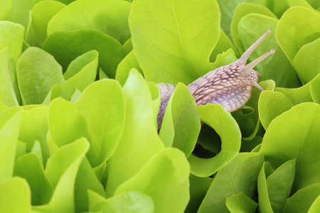 Snail on young green lettuce