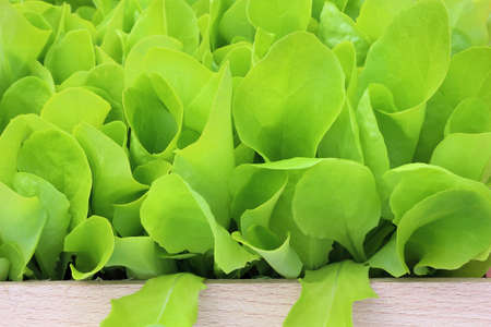 transplants: Young lettuce in a wooden pot
