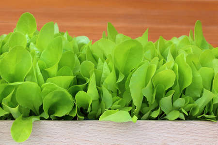 young lettuce in a wooden pot