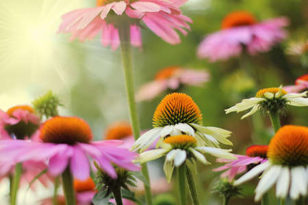 Colorful flowers of healing echinacea in the garden