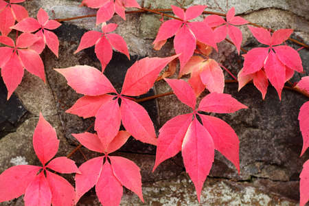Red leaves of virginia creeper on a stone wall