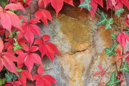 Reddish green leaves of virginia creeper on a stone wall