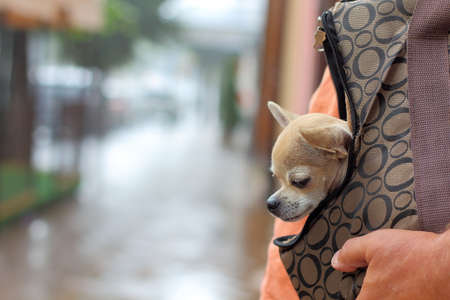 Chihuahua puppy wearing a dog bag on the street Standard-Bild