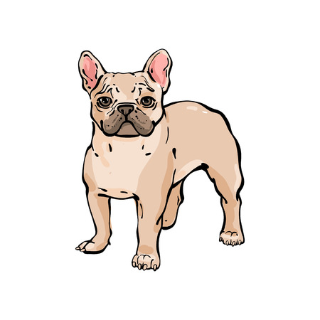 Hand drawn vector french bulldog. Illustration in line sketch style. The dog stands and carefully looks at the frame. Isolated on white background. Illustration