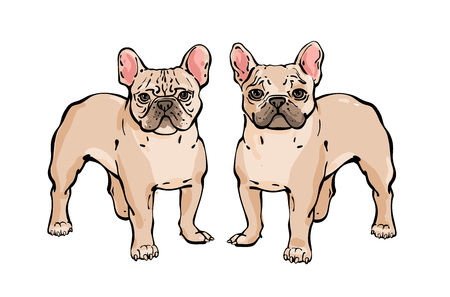 Set of Hand drawn vector french bulldog. Illustration in delicate colors  in line sketch style. The dog stands and carefully looks at the frame. Isolated on white background. Illustration