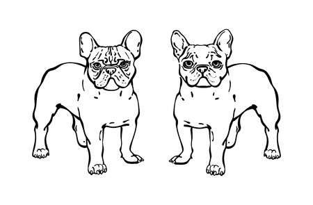 Set of Hand drawn vector french bulldogs. Illustration in line sketch style. Two dogs stands and carefully looks at the frame. Isolated black line on white background. Illustration