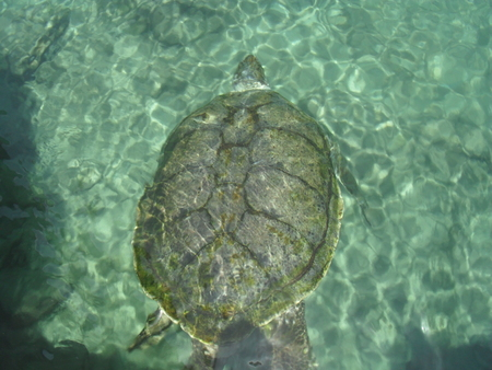 whether: sea turtle