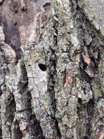 Hole in the bark of an ash tree. Stock Photo