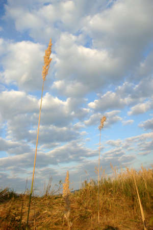 sun drenched: Yellow grass and clouds