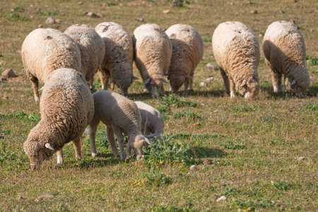 flock of sheep grazing in Extremadura - Spain photo