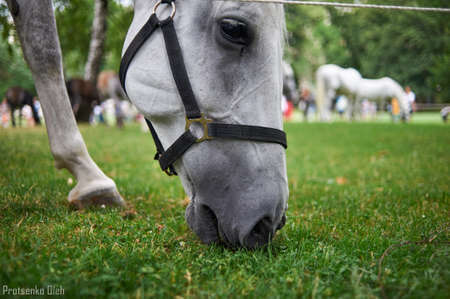 lipizzan horse: Portrait of a white horse eating grass