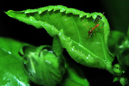 formicidae: ant on green leaf