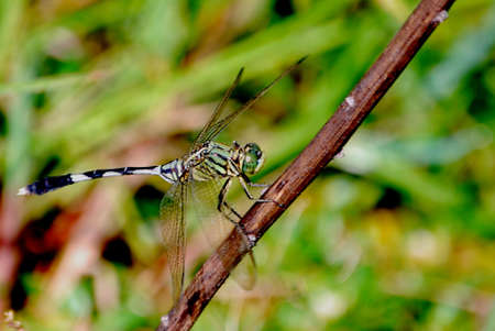 anisoptera: Dragonfly wait for next hunting round