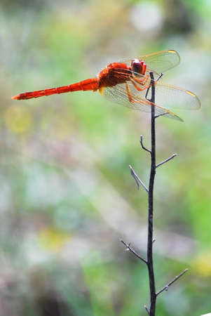 anisoptera: Dragonfly agains the high wind Stock Photo