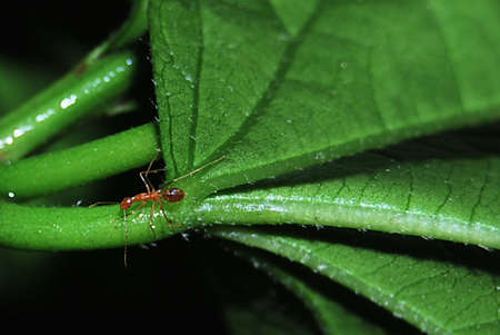 formicidae: Fire ant on green leaf