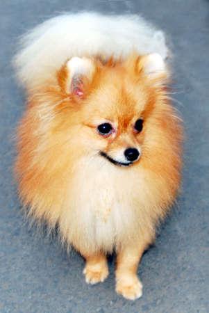 pompom: Giovani pom-pom cane guardando intorno